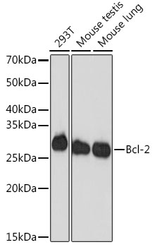 ABclonal:Western blot - Bcl-2 Rabbit mAb (A19693)