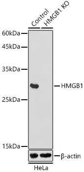 [KO Validated] HMGB1 Polyclonal Antibody