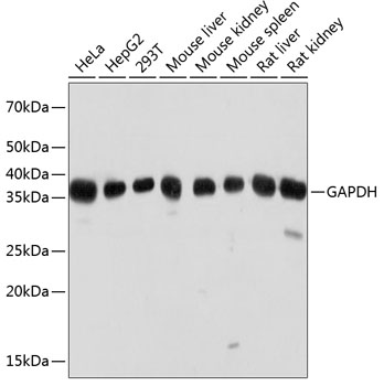 ABclonal:Western blot - GAPDH Mouse mAb (High Dilution) (AC033) }
