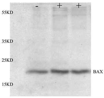 ABclonal: review for [KO Validated] Bax Rabbit pAb(A12009)